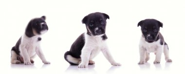 3 poses of cute puppy