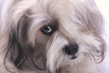 Emo style dog