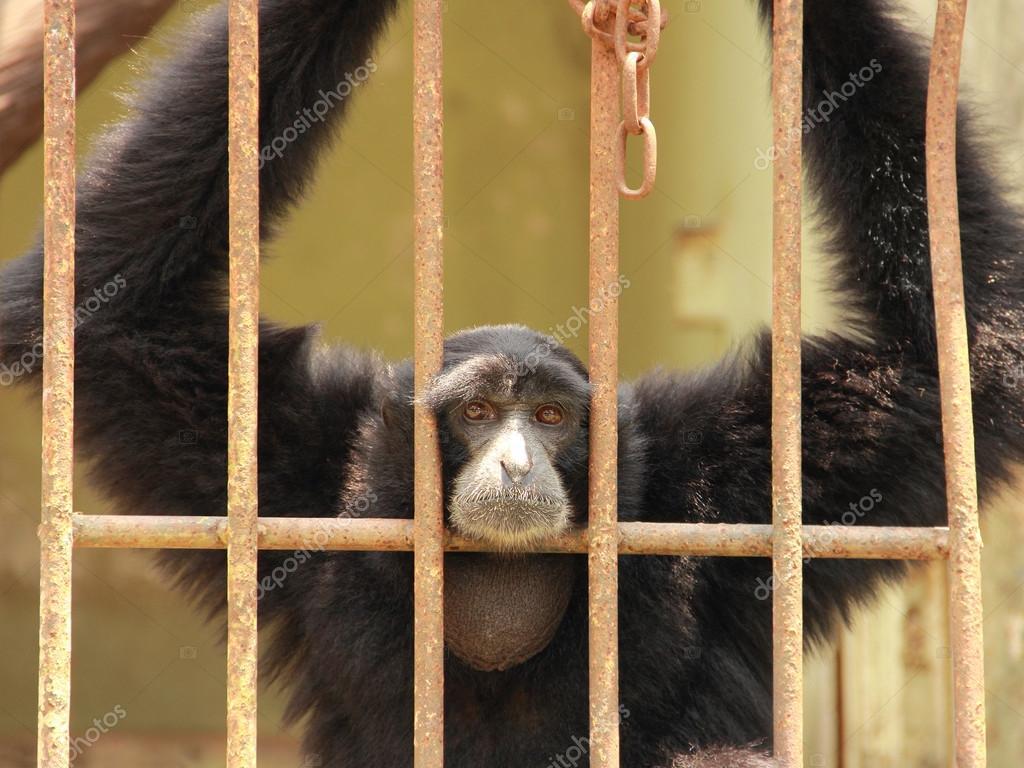 Sad chimpanzee in a cage
