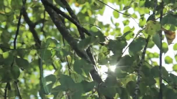 Sonne scheint durch den Wind auf den Blättern des Windbaums
