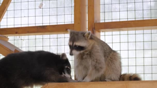 Two cute raccoons eating leaves of cabbage in cage at zoo - captivity concept
