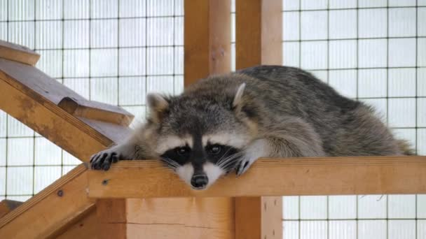Cute sad raccoon looking at camera and lying in cage at zoo - captivity concept