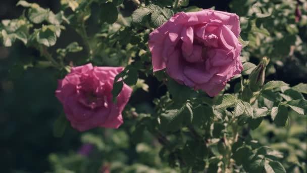 Egy dogrose, szeles időjárás, Rózsa kutya, a Kanin, Rosa canina L Rózsa virágok