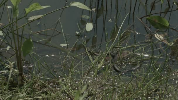 Freeze grass snake, natrix on pond with duckweed