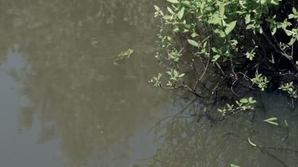 Žáby v rybníku s bažina vegetace