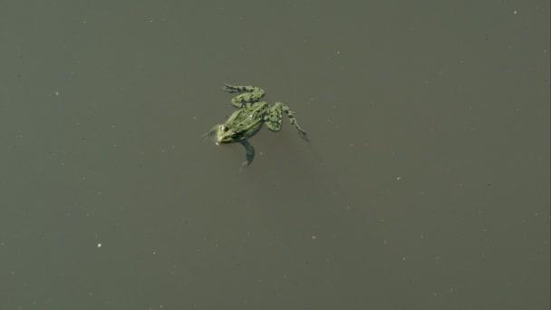 Frosch im Teich schwebend