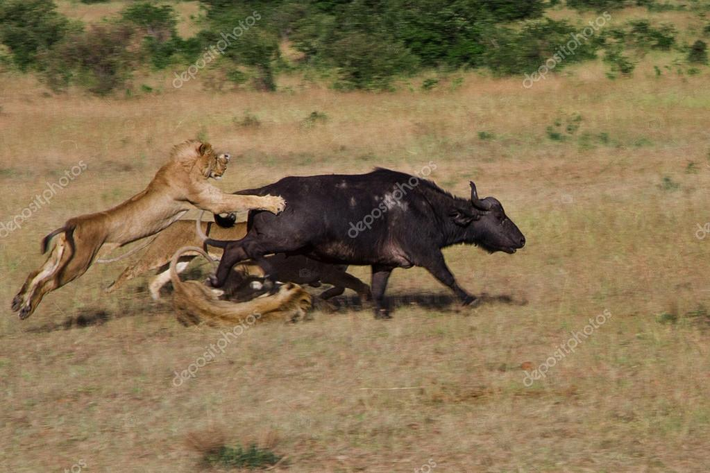 Lion Hunting in Kenya