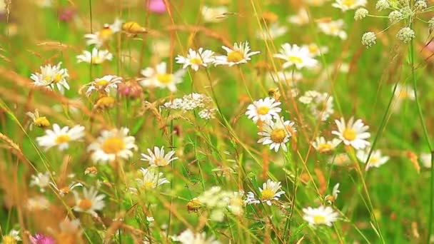 Daisies in the summer
