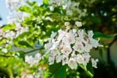 catalpa Tree s květy na modré obloze na slunečný den