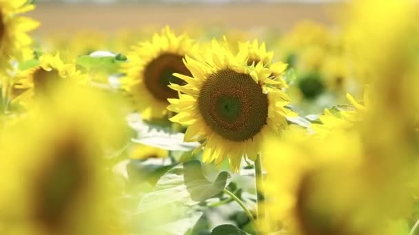 sunflowers in the field swaying in the wind