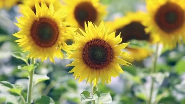 květy slunečnice kymácí ve větru