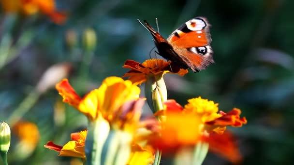 schöne Schmetterling Pfau Auge auf die Blume