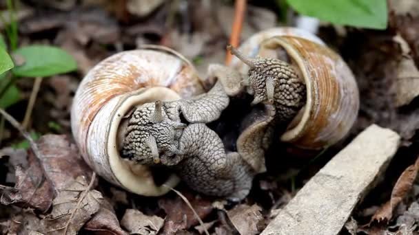 big snails in the wild