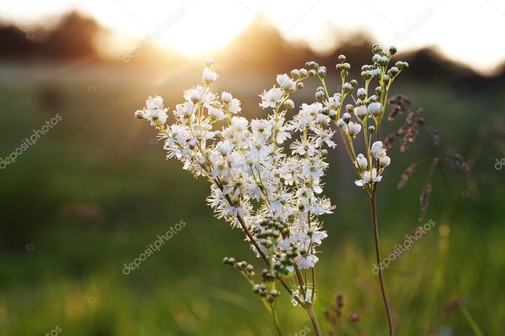 Hermosas Flores Silvestres Blancas Y Puesta De Sol Fotos De Stock