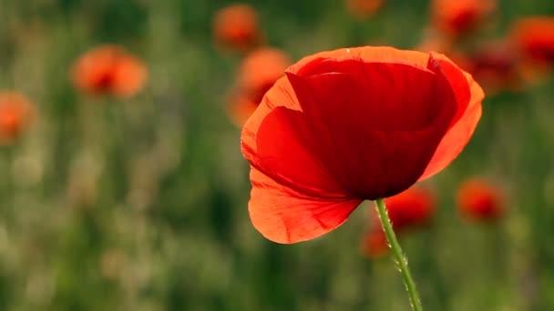 neuvěřitelně krásné květy máku Full Hd