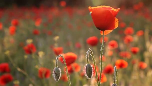 hihetetlenül gyönyörű pipacs virágok Full Hd