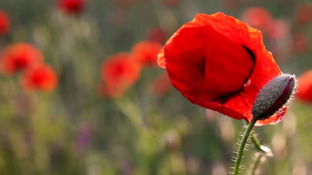 incredibly beautiful poppy flowers FULL HD