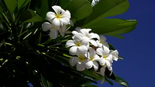 Bílý kvetoucí Plumeria