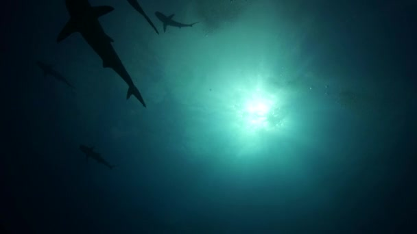 Caribbean reef tiger sharks