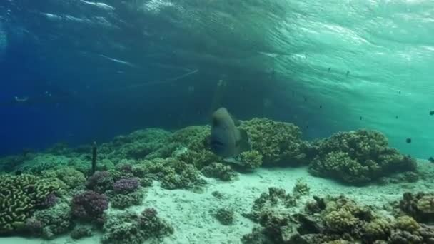 Napoleon Wrasse in shallow water