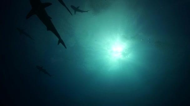 Žraloci tygří karibským korálovým