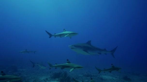 Karib-tengeri cápák és halak