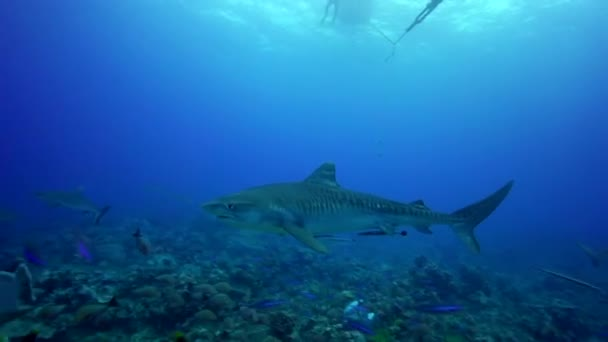 Tiger sharks on the reef