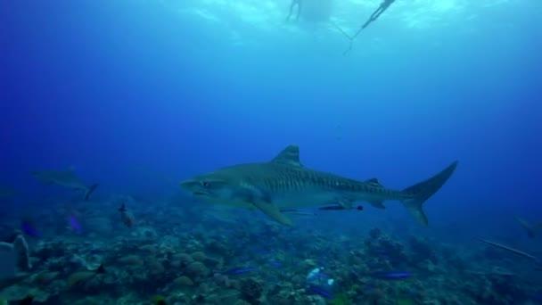 Tygří žraloci na útesu