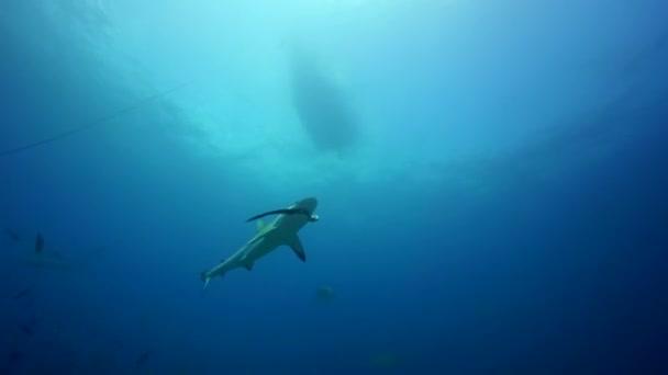 Grauer Hai beim Füttern