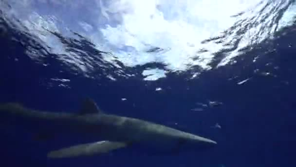 shark swimming near diver