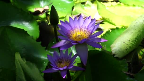 Lotus flowers and bees