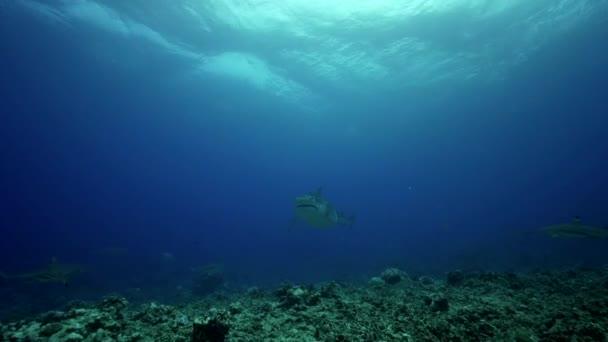 Pesci e squali caraibici