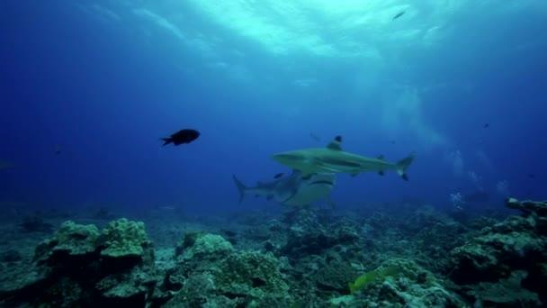 Tiger cápák a zátonyon