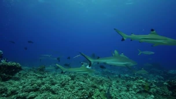 Tigerhai und Fische