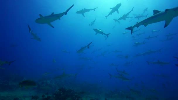 Szürke zátony cápák