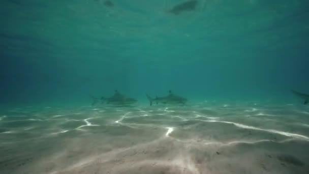 szürke zátony cápák úszás