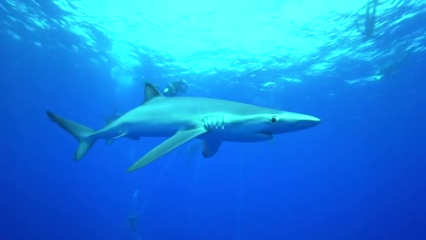 Blue shark with scuba divers