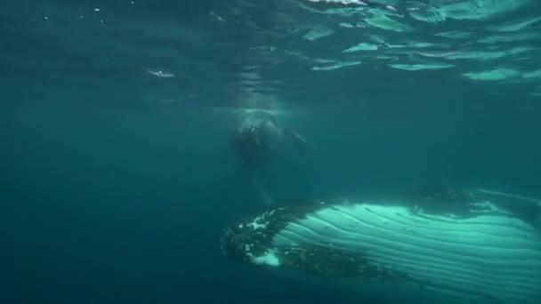 humpback whales around Tahiti