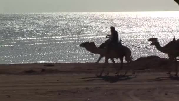 camels being led next to the coast
