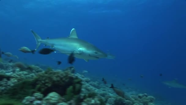 silvertip sharks on the reef