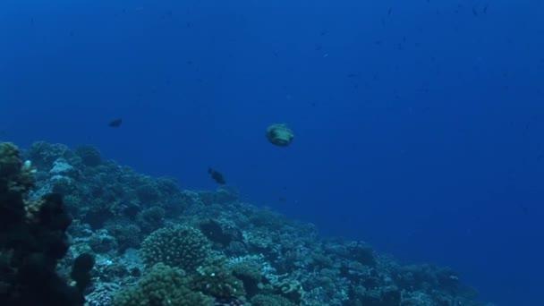 porcupine fish swimming in ocean