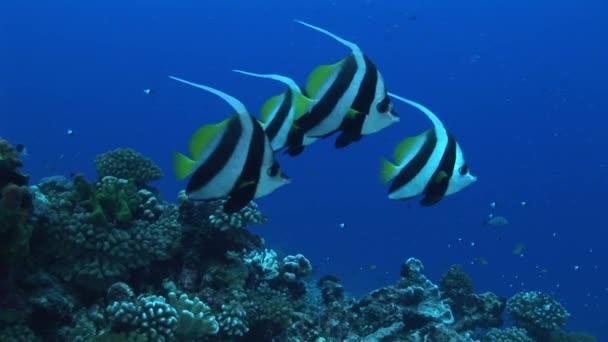 Bannerfishes koupání v oceánu