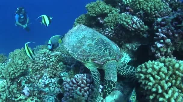 turtle feeding on a coral reef