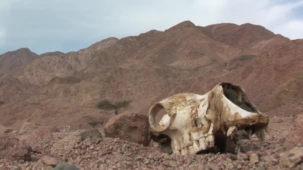 huesos y cráneo camello — Vídeo de stock © underwatercam #74493041