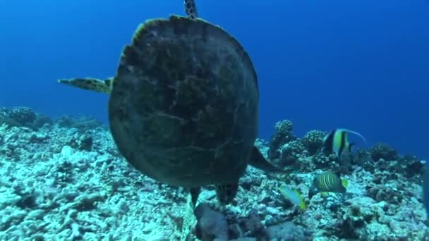 Turtle etetés a korallzátonyok