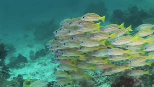 Large school of snapper fish
