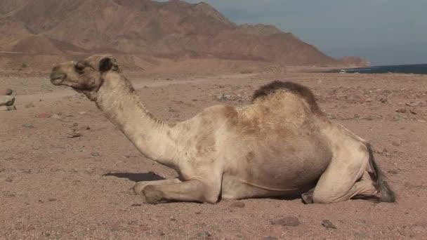 caravan of camels walking