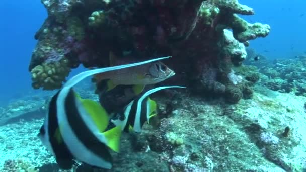 squirrel fish with banner fishes on reef