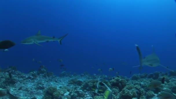 Silberhaie am Riff