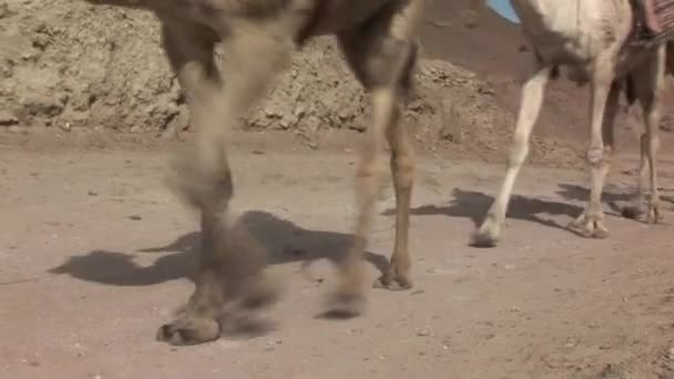 camels walk across the desert